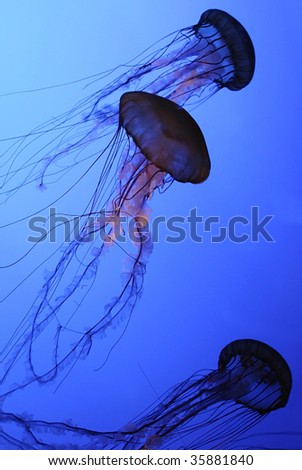 Several JellyFish or Sea Jellies, swimming in water - stock photo