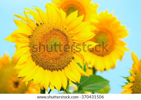 Several large yellow sunflowers on a blue background.