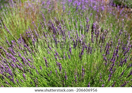 Several plant of lavender with beautiful flowers