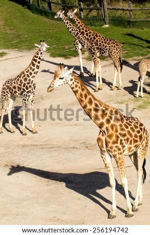 Several young giraffes at zoo - stock photo