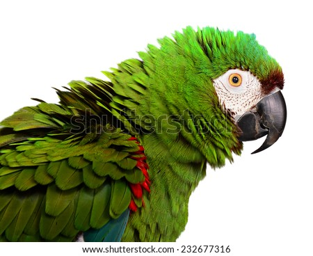 Severe Macaw. Chestnut Fronted Macaw - stock photo