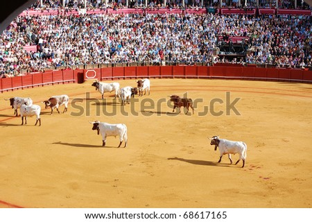SEVILLE - APRIL 30:  The cows herd a bull out of the ring during a bullfight for a sold out crowd at the Plaza de Toros de Sevilla April 30, 2009 in Seville, Spain.