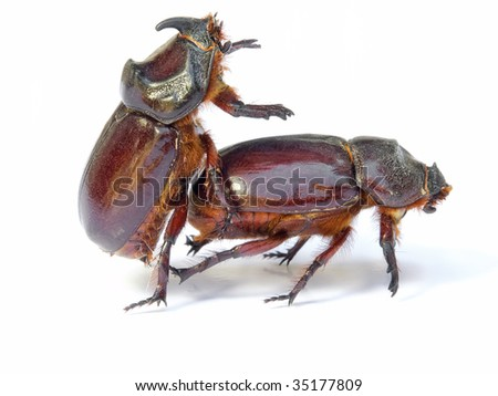 Sex in the world of bugs and insect. Isolated on a white background. - stock photo