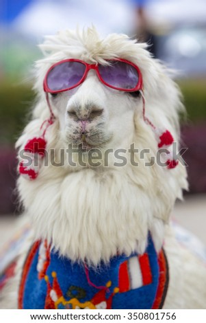 Sexy white lama wearing sunglass and a colored scarf on the square of Huaraz in Peru (Selective focus)
