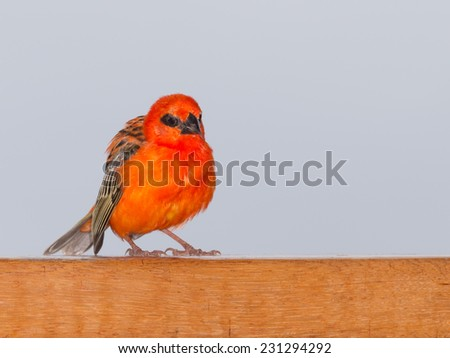 Seychelles, a tropical orange red sparrow sits on a wooden partition against a gray sky - stock photo