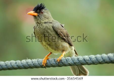 Seychelles Bulbul - stock photo