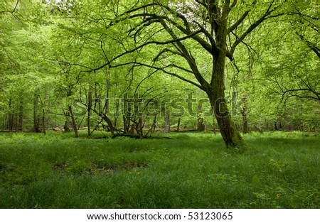 Shady deciduous stand of Bialowieza Forest in springtime with fresh green grassy bottom and lonely old hornbeam - stock photo