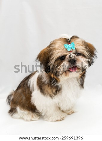 Shaggy puppy Shih Tzu sits on a white background - stock photo