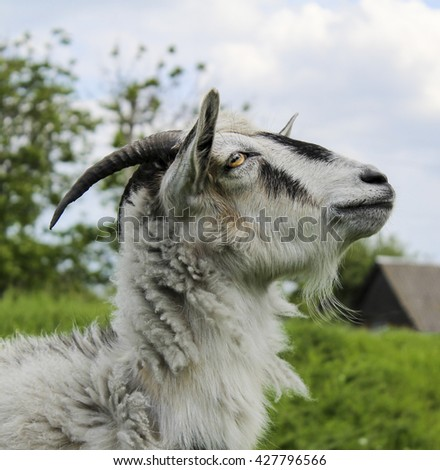 shaggy white goat with a black spot on his forehead standing on green grass tied by chain