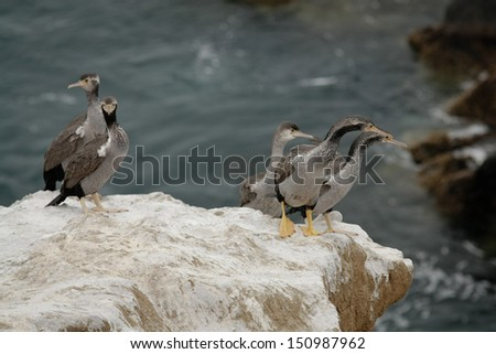 Shags (cormorants) on the cliff in New Zealand - stock photo