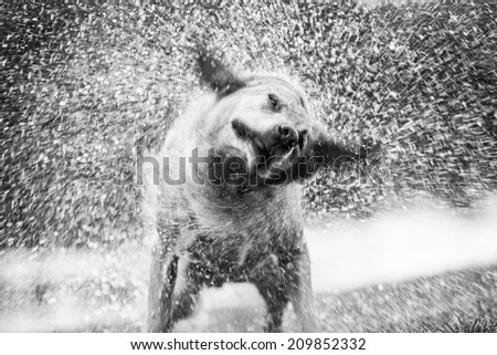 Shaking dog - stock photo