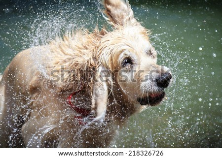 Shaking dog. Beautiful golden retriever shaking water - stock photo