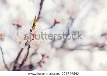 Shallow focus of blossoming apricot. Pastel colored nature background with shallow focus  - stock photo