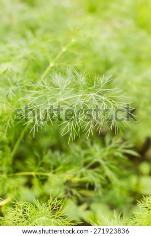 Shallow focus or fresh green dill branch. Nature herbal background - stock photo