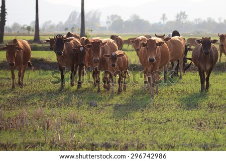 Shallow of Focus to Cows. - stock photo