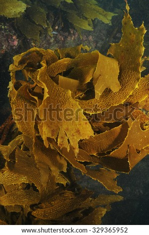 Shallow water forest of brown kelp Ecklonia radiata - stock photo