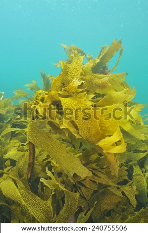 Shallow water kelp forest of Ecklonia radiata - stock photo