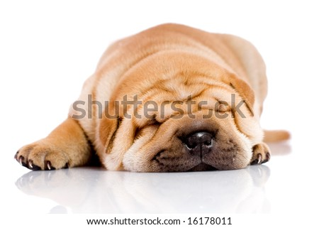 Shar Pei baby dog, almost one month old - stock photo