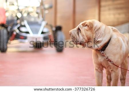 shar pei dog Dog keeps house   - stock photo