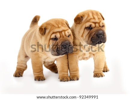 shar pei puppies - stock photo