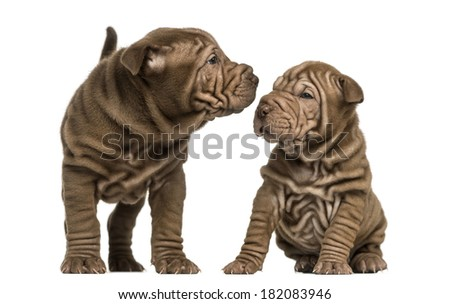 Shar Pei puppies sniffing each other, isolated on white - stock photo