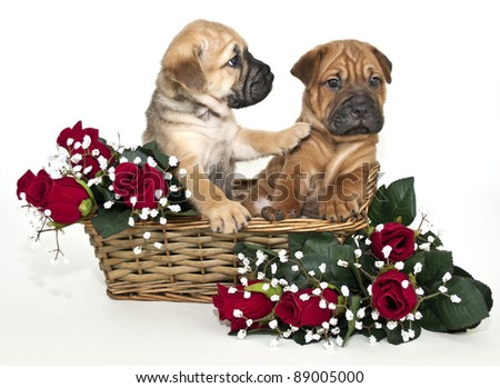 Shar pei puppy in a basket with red roses. The puppy looks like he is not going to listen to his friend, on a white background.