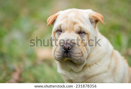 Shar Pei puppy in the open air - stock photo