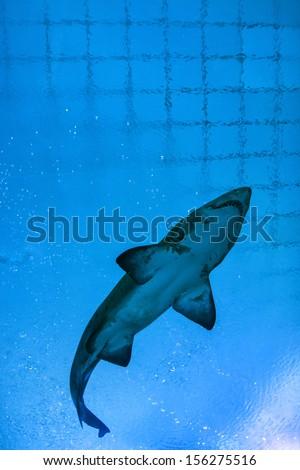 Shark against blue water in Aquarium. - stock photo