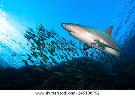 Shark and school of fish - stock photo