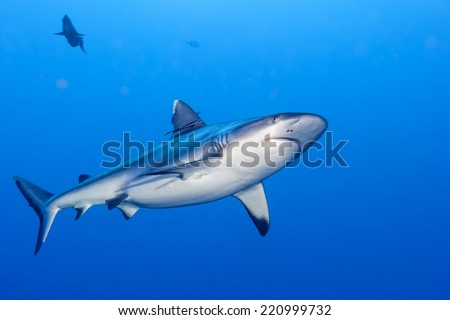 shark attack underwater in the deep blue sea