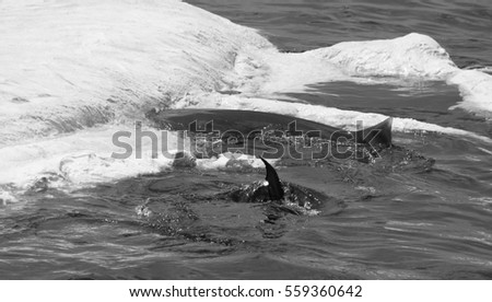 Shark beginning to feed on a dead whale in black and white