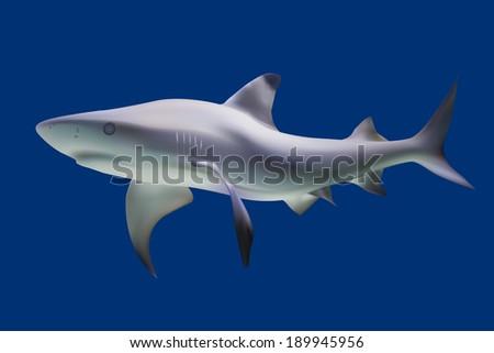 Shark. Illustration. Isolated on blue - stock photo