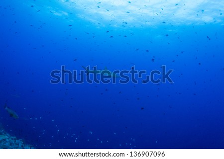 shark in blue under water - stock photo