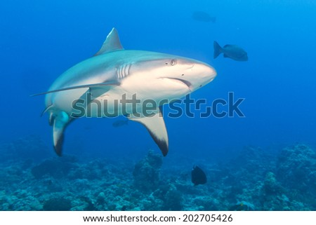 Shark jaws ready to attack underwater close up portrait - stock photo