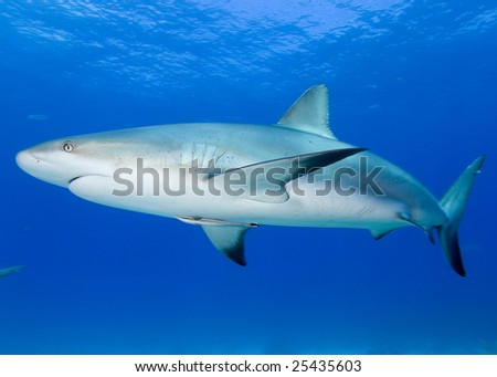 Shark on Blue Water Background