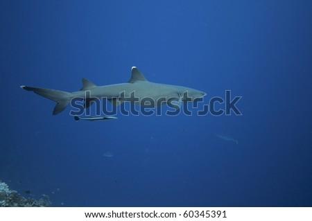 Shark patrolling the reef. Great barrier reef . Australia - stock photo