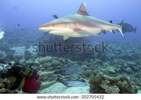 Shark ready to attack a scuba diver - stock photo