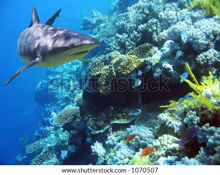 Shark swimming over reef with fish - stock photo