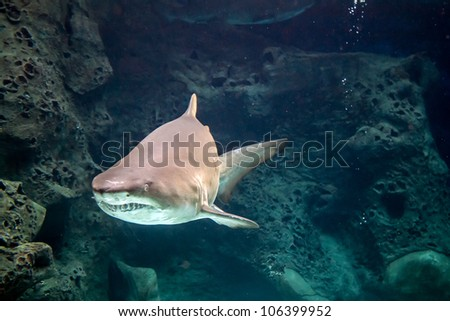 Shark underwater in natural aquarium