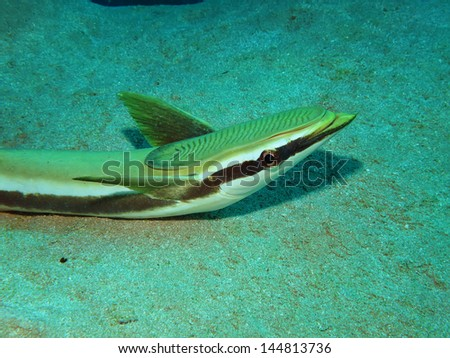 Sharksucker (Echeneis naucrates) - stock photo