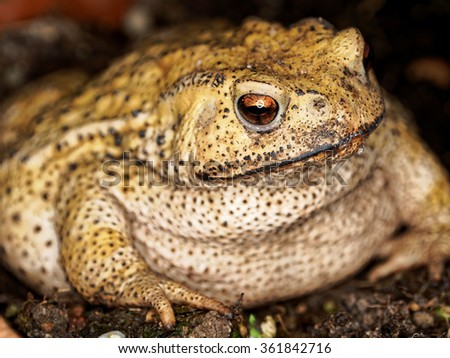 Sharp eyes of gold toad, it is associated with drier skin and more terrestrial habitats than animals commonly called frogs, and it means wealth in China. - stock photo