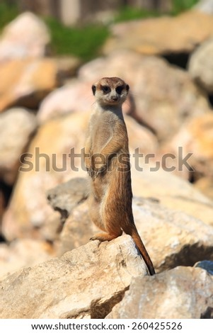 Sharp look of a Meerkat (Surikate) guarding for its family on sunny rocks - stock photo