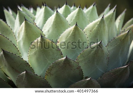 Sharp pointed agave plant leaves pattern - stock photo