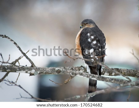 Sharp-shinned Hawk, Springhill, Nova Scotia - stock photo