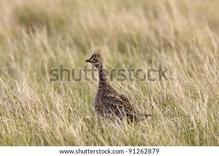 Sharp Tailed Grouse in Field Saskatchewan Canada - stock photo