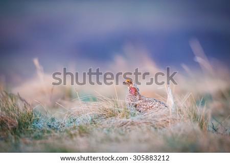 Sharp-tailed grouse LEK ritual mating dance in a Alberta Canada grassland - stock photo