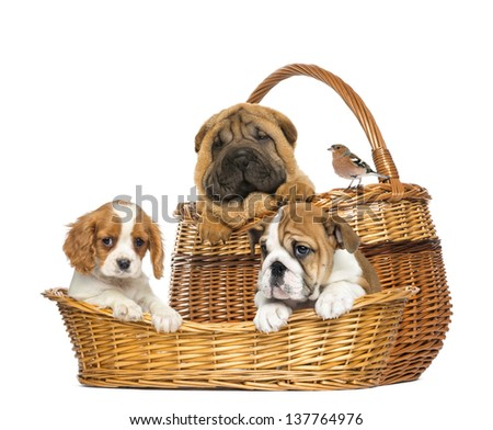 Sharpei, Cavalier King Charles, English Bulldog puppies and Common Chaffinch in wicker baskets - stock photo
