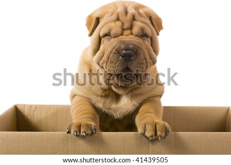 sharpei dog - stock photo