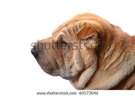 sharpei dog portrait in studio