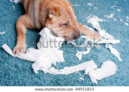 sharpei dog with toilette paper - stock photo